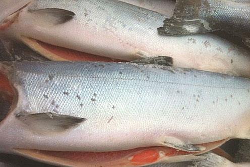 H&G Whole Alaskan King Salmon